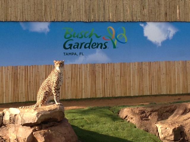 Busch Gardens Man V Cheetah 3