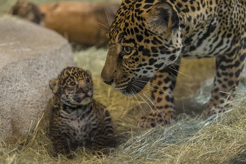 "Jaguar Cub at the San Diego Zoo Prepares for Debut During ""Play Days"""