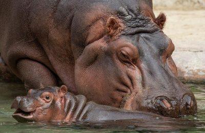 baby hippo Amahle